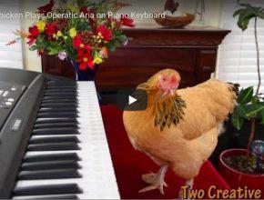 "A chicken plays Puccini's aria ""O Mio Babbino Caro"" on a piano keyboard."