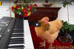 Puccini – O Mio Babbino Caro – Chicken Version!