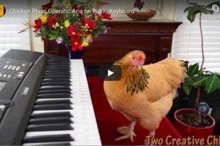 Puccini - O Mio Babbino Caro - Chicken Version!